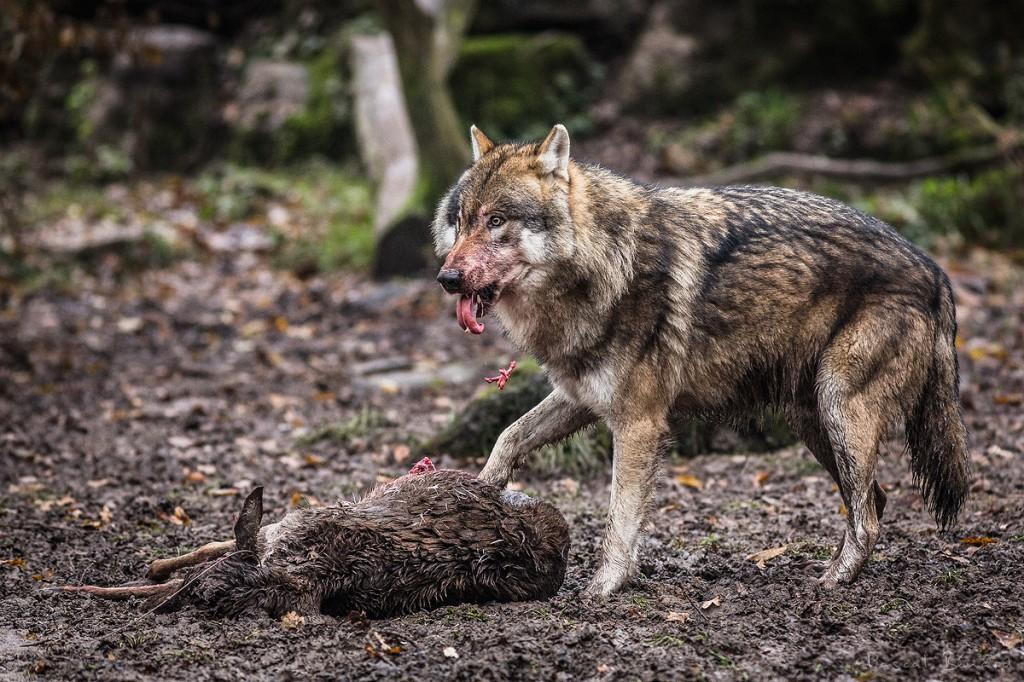 Le loup dominant se sert le 1er