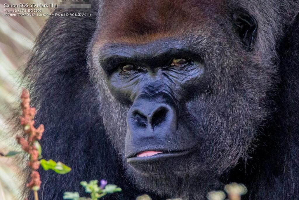 Gorille des plaines de l'Ouest (Crop 100%)