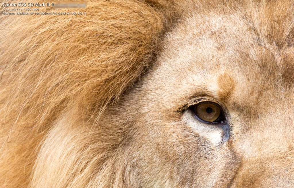 Lion (Crop 100%)